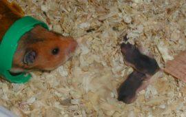 Canibalismo en roedores