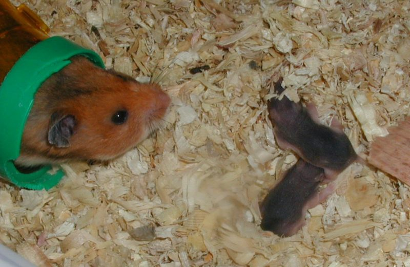 Hamster con bebes