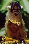 El Mono Ardilla