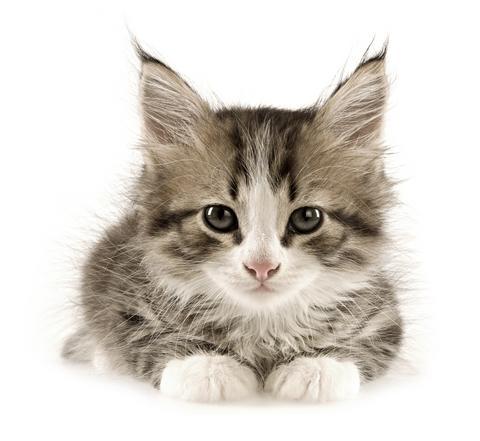 Descalcificación de felinos
