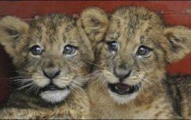Cuatro leones «matados» de nuevo en el zoo de Copenhague