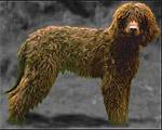 Perro de agua irlandés
