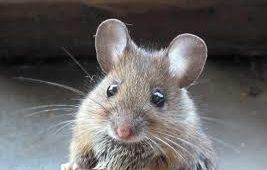 El Ratón Doméstico