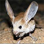 ¿Conoces al ratón canguro?