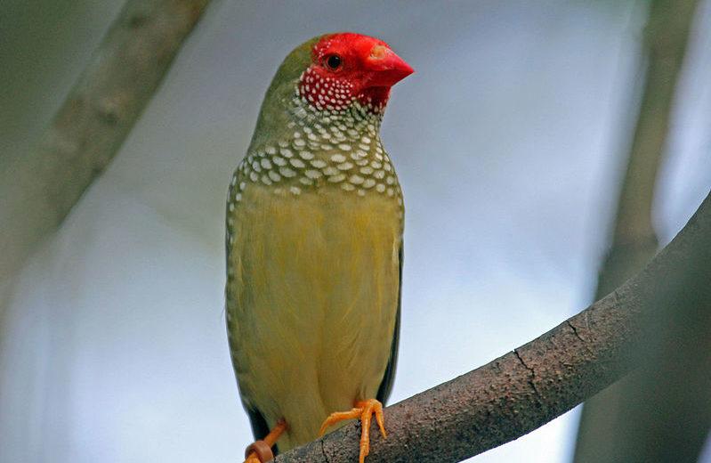 El Star Finch