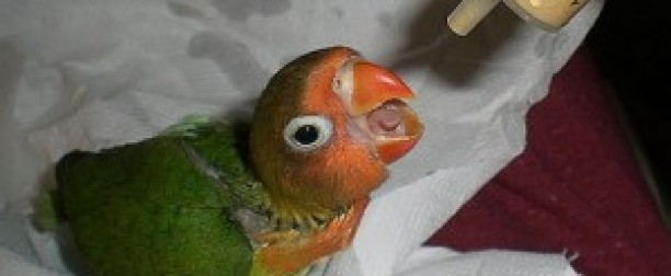 Cómo dar medicación a un ave