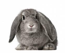 Las seis razas de conejos grandes