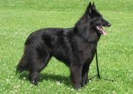 El perro de Pastor Belga