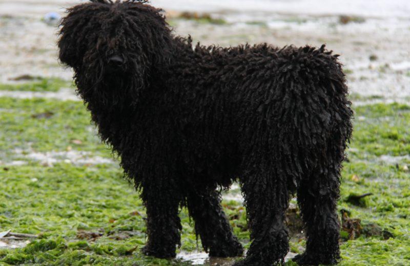 El Perro de Aguas Español