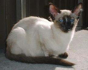 El gato balinés