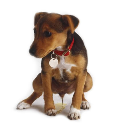 Cachorros: enseñar a hacer sus necesidades fuera de casa