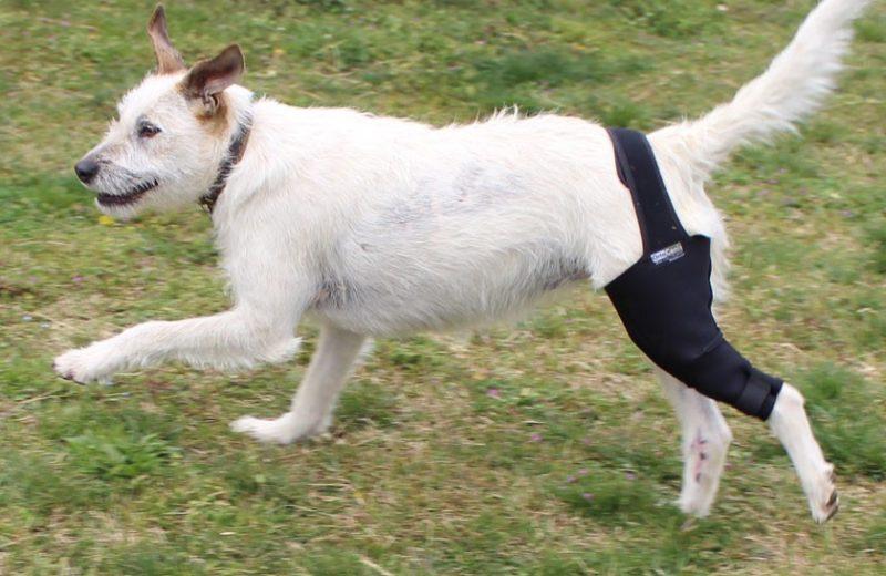 ¿Cómo recuperar fuerza en las patas traseras del perro?