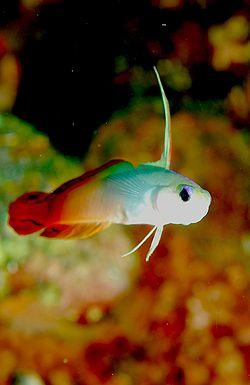 Peces acuario marino: Nemateleotris Magnifica