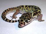 Gecko bandeado centroamericano