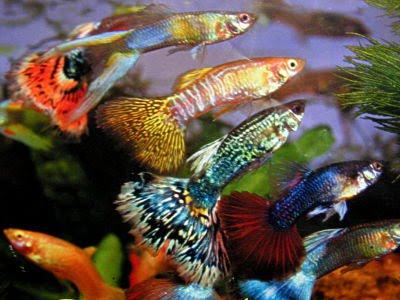 El Guppy en el acuario comunitario