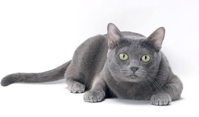 El Korat, el gato de la buena suerte