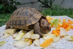 Alimentación de las Tortugas Terrestres