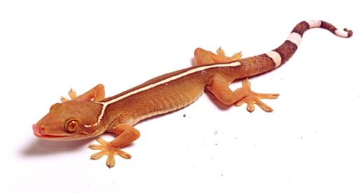 Gekko vittatus, el Gecko de Línea Blanca