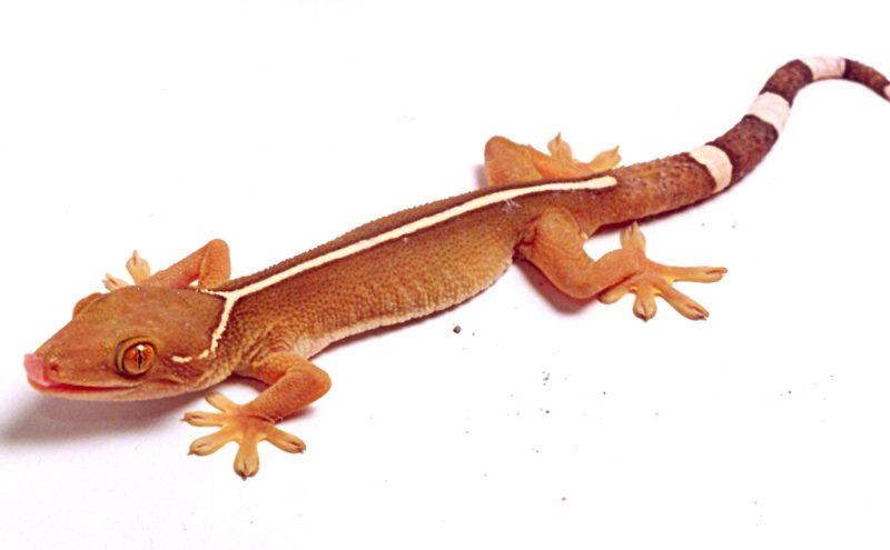 Gecko de Línea Blanca