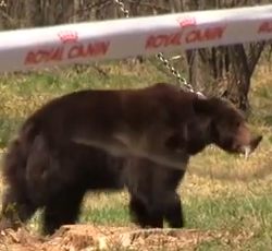 Nota aclaratoria de Royal Canin por el vídeo que circula por las redes sobre la pelea de un oso y unos perros.