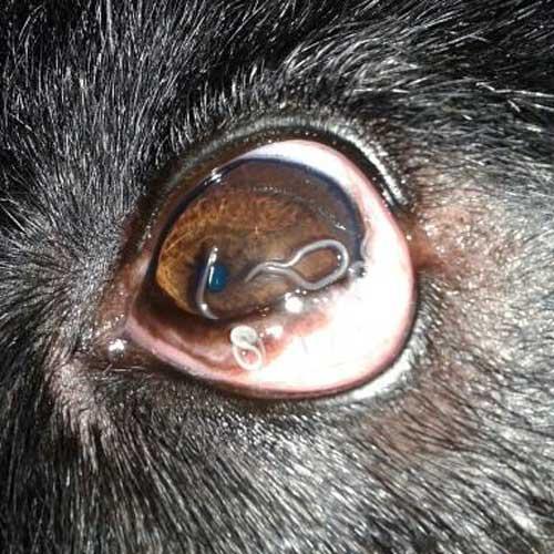 El Gusano Oriental del Ojo – Thelaziosis Canina
