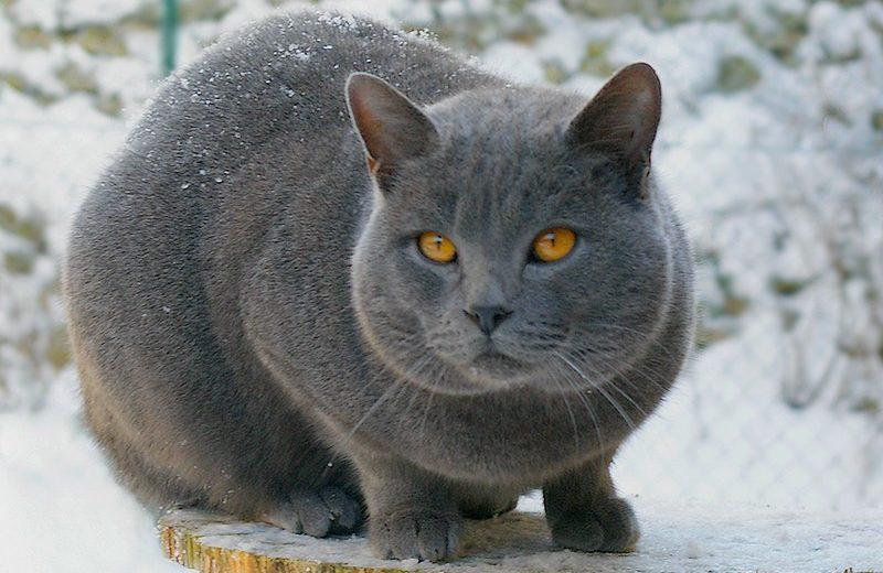 El Chartreux, el gato de los monjes cartujos