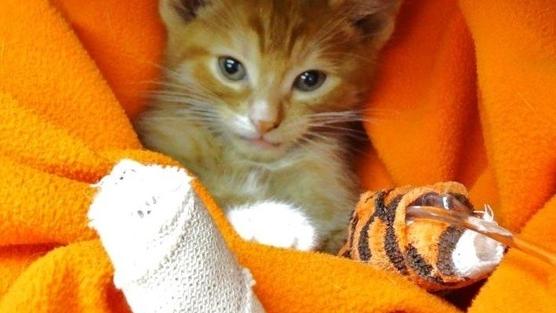 Curar una herida al gato en cinco pasos