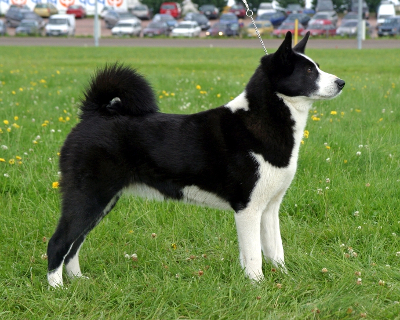 Perro Oso de Karelia - Perro Oso de Carelia