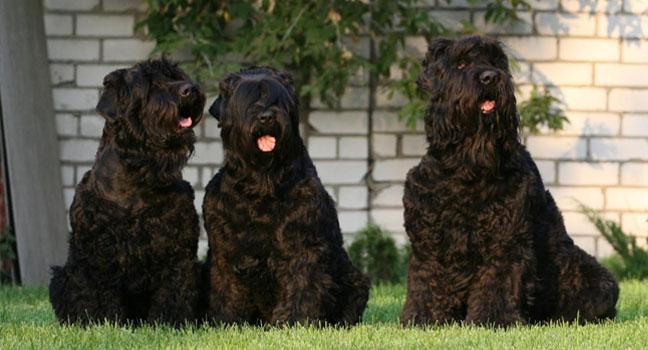 El Terrier Ruso