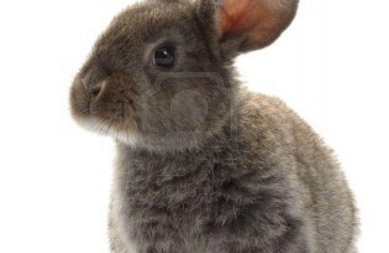 La adopción de un conejo enano