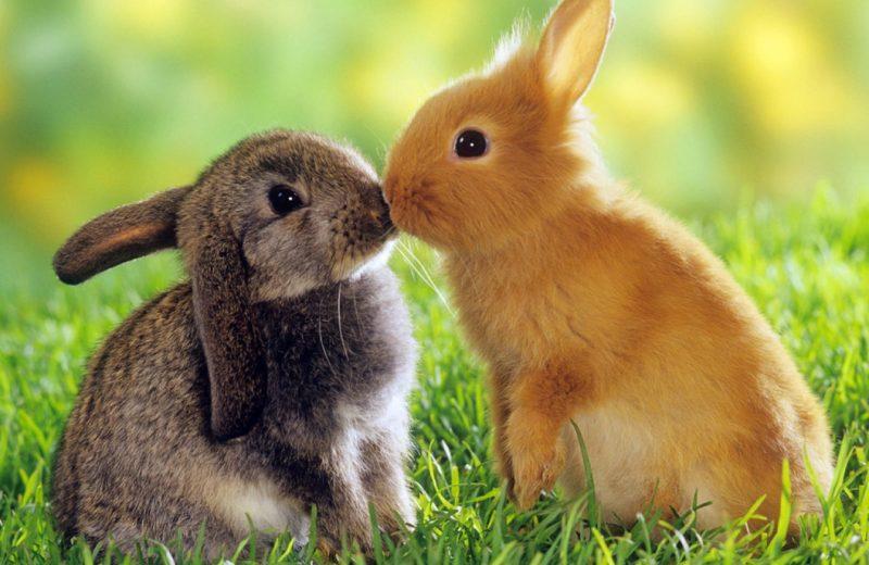 Convivencia entre conejos