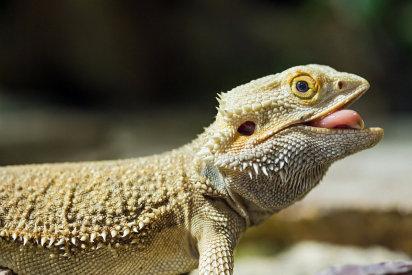 El Dragón barbudo australiano