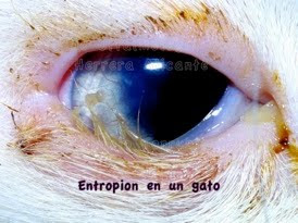 Patologías oculares: Entropión en el gato doméstico