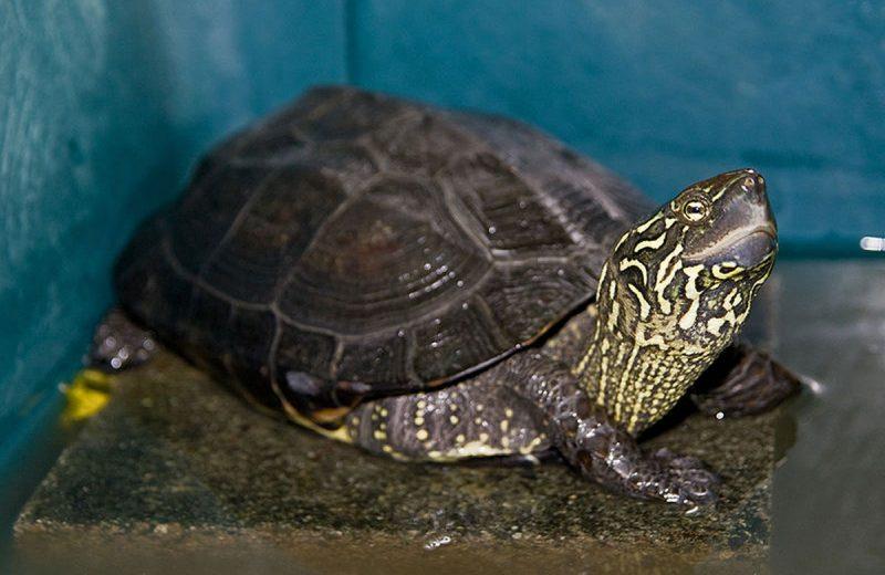 El galápago chino, una preciosa tortuga