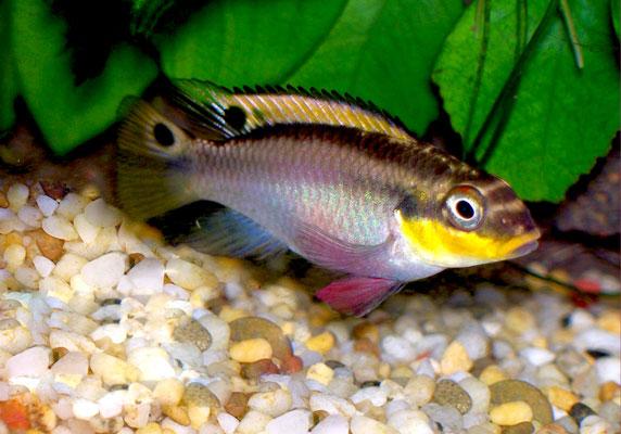 El Pelvicachromis Kribensis