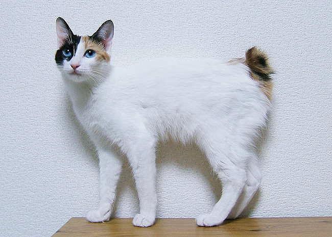 El Bobtail Japonés