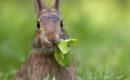 ¿Cómo fue el  proceso de domesticación de los conejos?