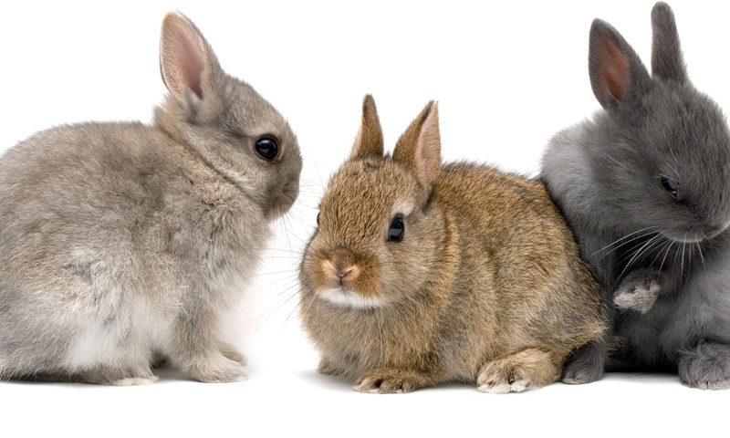 Preguntas y respuestas más usuales sobre conejos