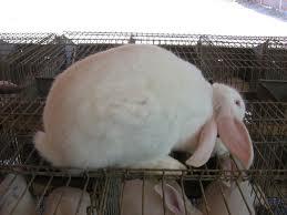 Enfermedades conejos - Cuello torcido