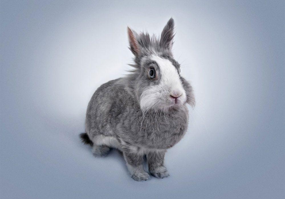 Conejo sano