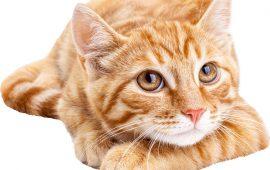Flutd – Enfermedad del tracto urinario inferior en gatos