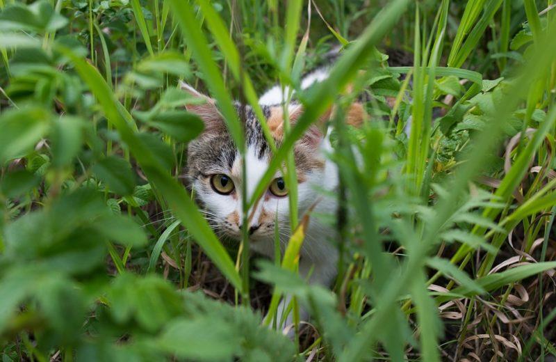 El instinto cazador en felinos
