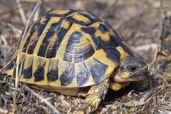 Qué es y como se manifiesta la rinitis en las tortugas.