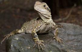 El Dragón de Agua Australiano o Physignathus lesueurii