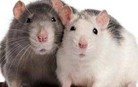 La rata doméstica, una simpática e inteligente mascota