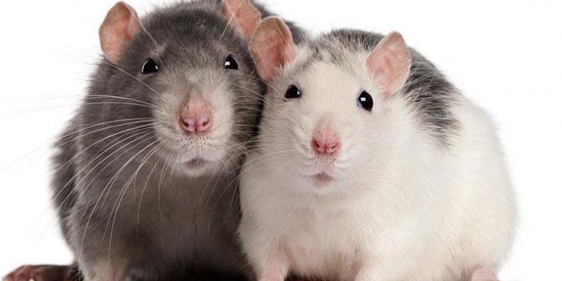 Las Ratas – una simpática mascota a tener.