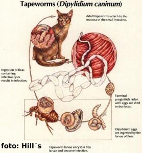 ¿Por qué debemos desparasitar internamente a nuestros animales de compañía?