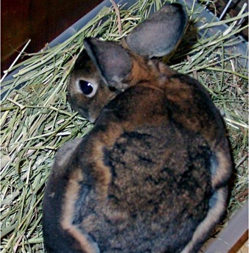 Alopecia en conejos