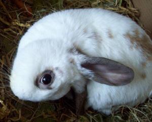 Enfermedades de conejos: la Encefalitozoonosis
