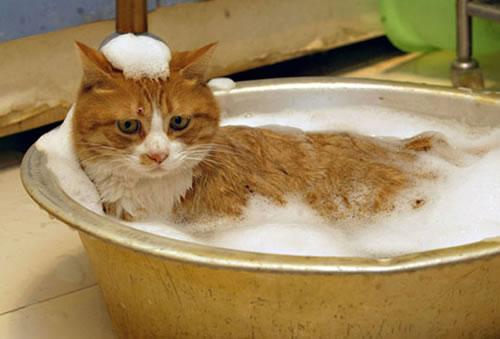 ¿Cómo se baña a un gato?